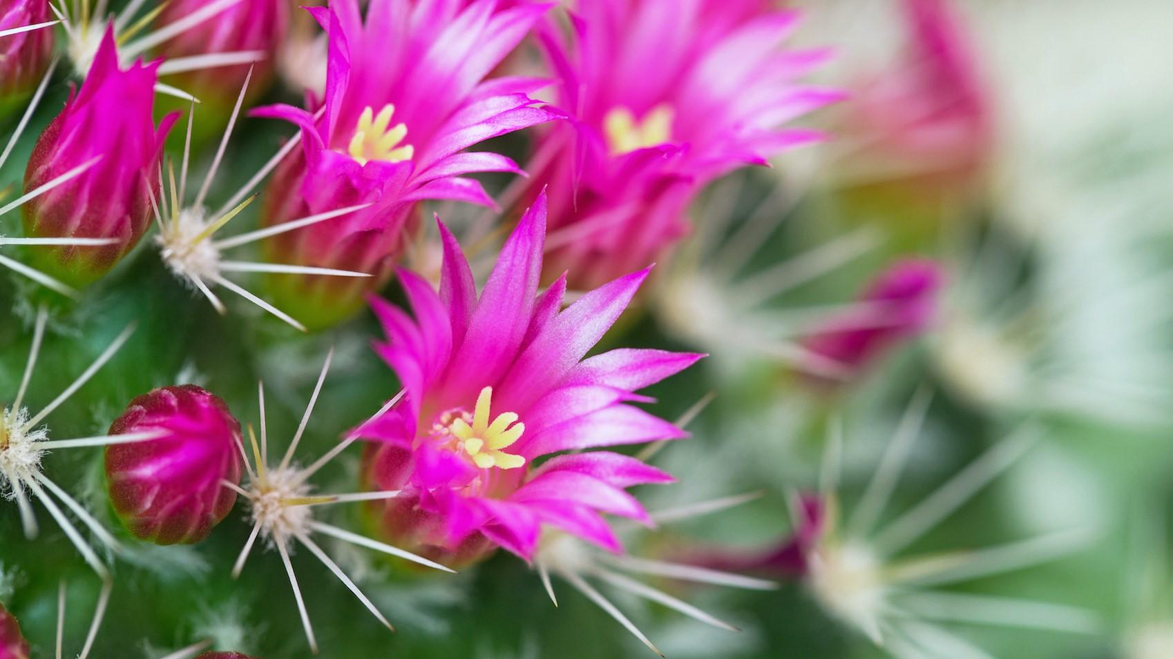 Sivatagi show –  Így nevelj virágpompás kaktuszokat, egyszerűen!