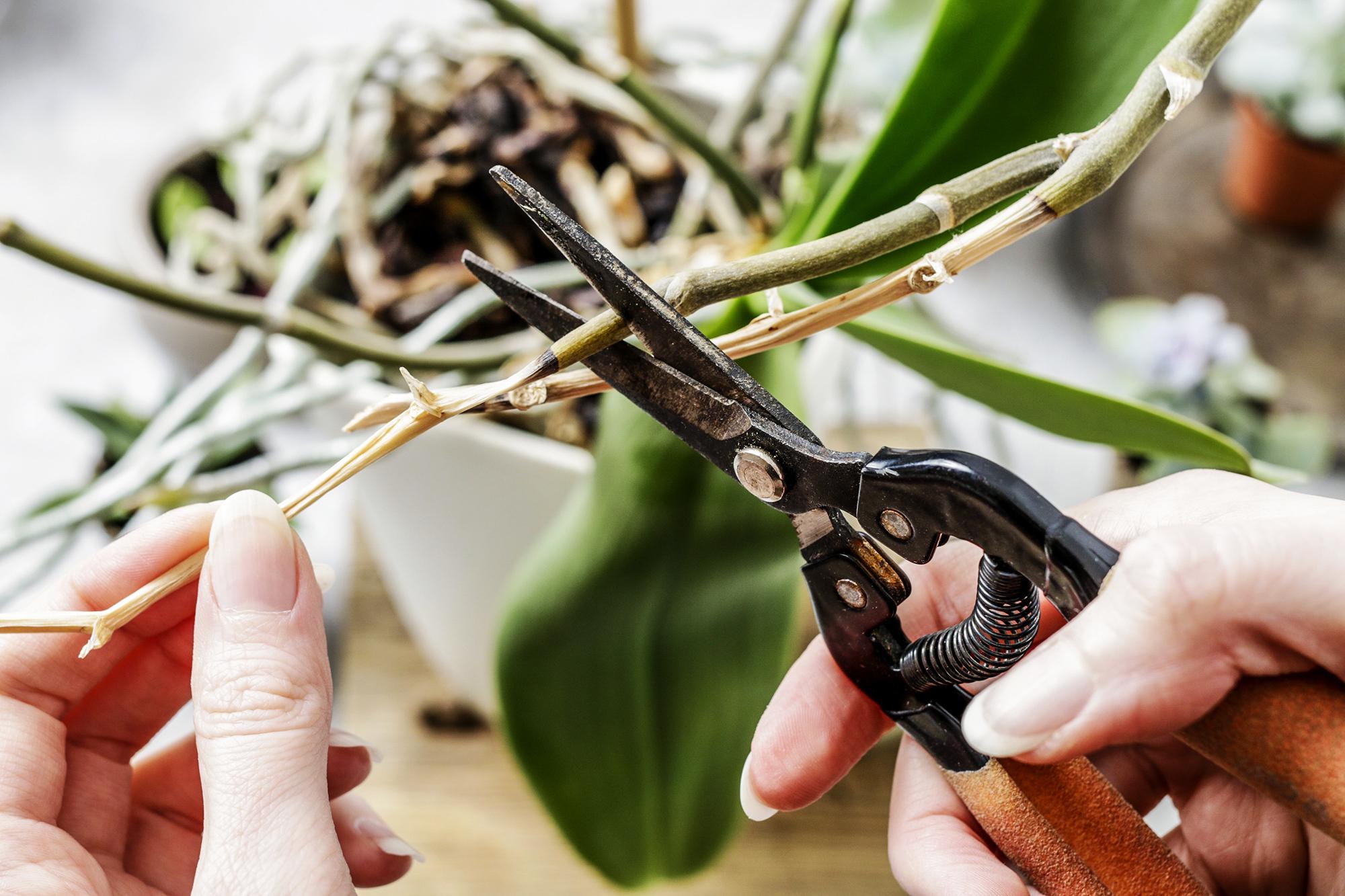 Orchidea-kisokos: Hogyan kell helyesen metszeni?