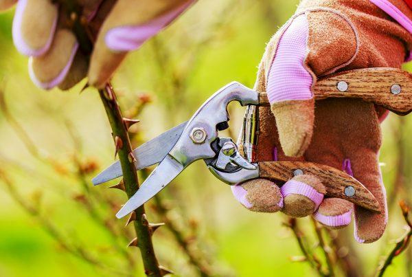 rózsa metszése tavasszal