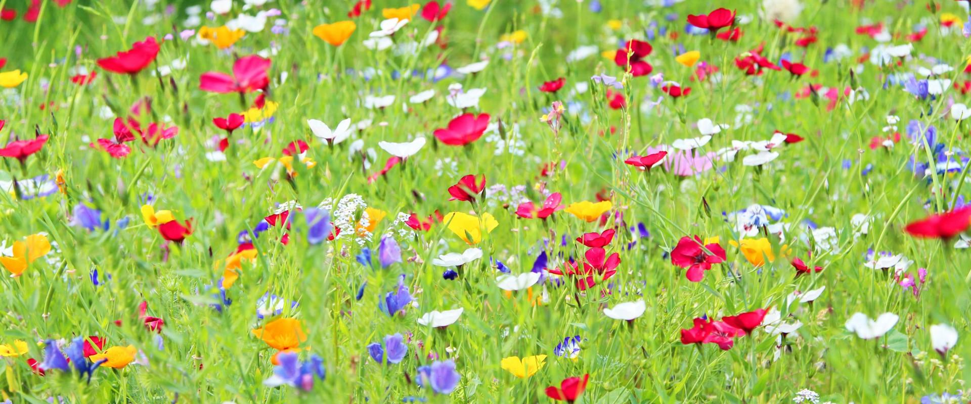 Így készíts színpompás vadvirágos kertet!